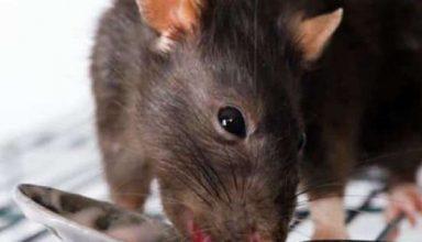 बड़ी लापरवाही : आंख की सर्जरी के बाद हॉस्पिटल में भर्ती मरीज को चूहे ने काटा, जांच का आदेश