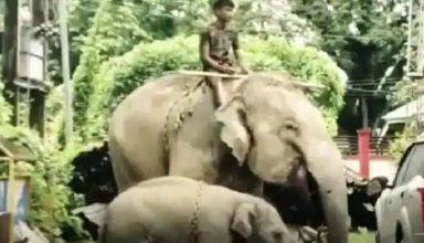 असम : हत्या के आरोप हथिनी और उसके बच्चे को पुलिस ने किया गिरफ्तार, दोनों को पकड़कर थाने बुलाया